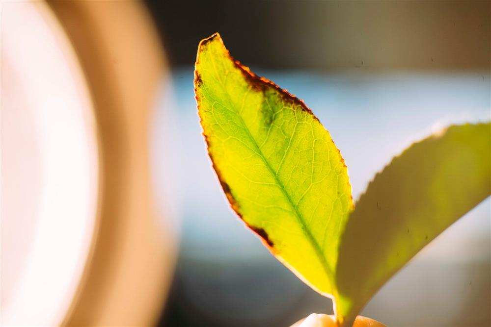 「10小時16分」靜置引香第四道工序-茶葉經日光萎凋步驟,褪去光澤呈現絲絨感後,移往室內靜置,適時輔以輕柔力道翻攪3-5次,直至外觀呈現「綠葉鑲紅邊」狀態,由師傅聞香判