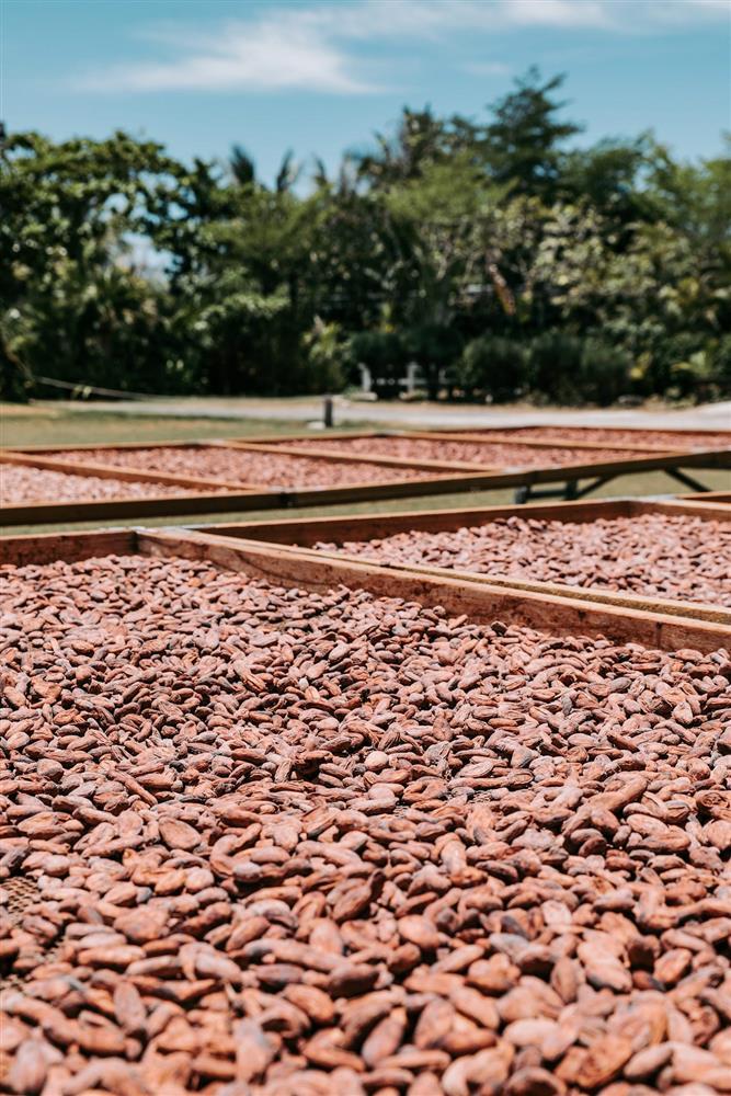 可可豆經過陽光曝曬,將水分降低,並讓酸味慢慢逸散-min