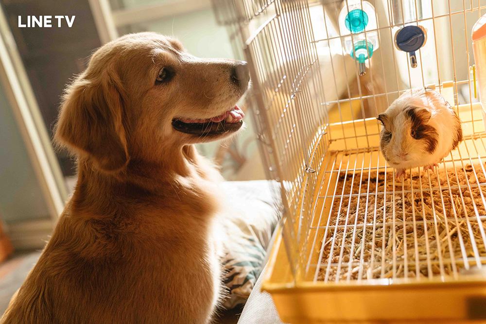 黃金獵犬「小小」(左)、天竺鼠「阿喵」(右)。