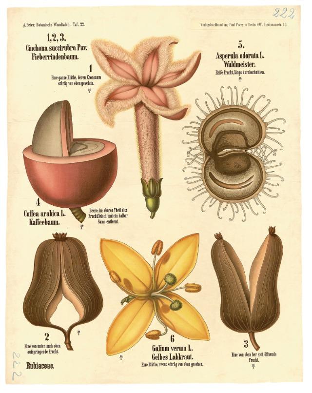 植物手繪圖中的咖啡原貌!古老掛畫中的神秘紅色漿果_茜 草 科 ( RUBIACEAE / COFFEE FAMILY )1