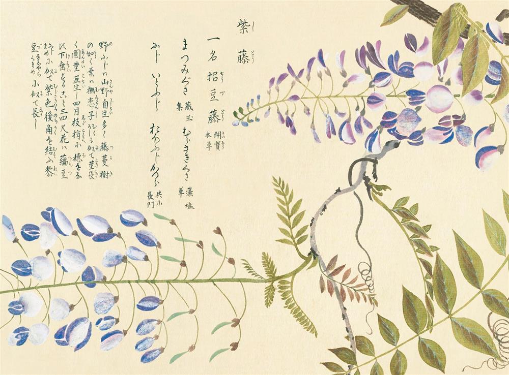 日本紫藤 Japanese wisteria 《江戶百花譜》