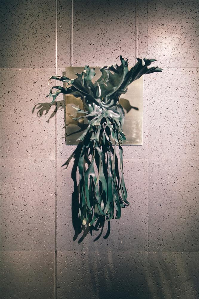 皇冠鹿角蕨 Platycerium coronarium