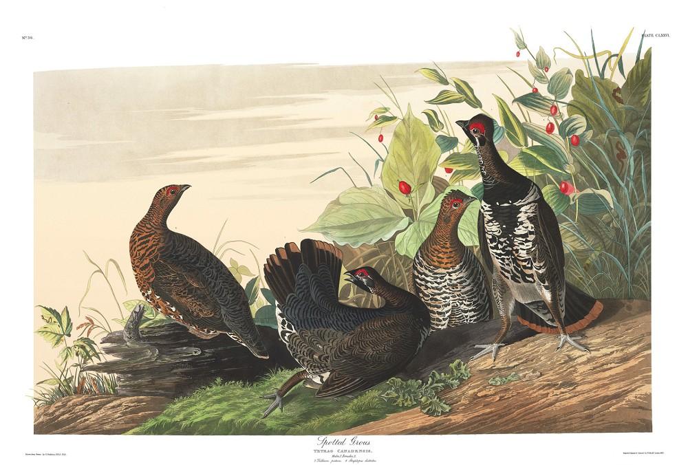 美國史上最珍貴圖鑑!《美國鳥類》435種鳥類精緻水彩畫圖庫免費開放下載