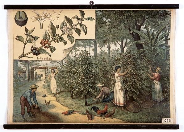 植物手繪圖中的咖啡原貌!古老掛畫中的神秘紅色漿果_茜 草 科 ( RUBIACEAE / COFFEE FAMILY )2